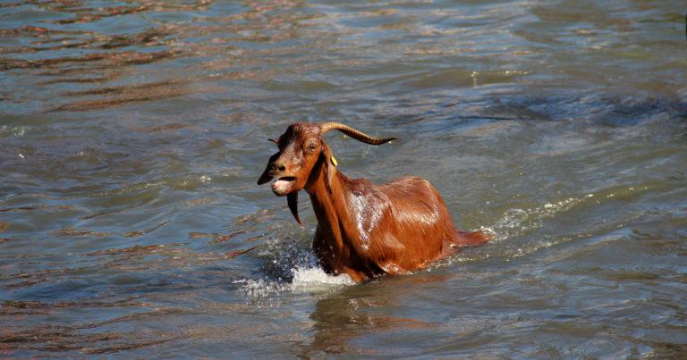 Los orígenes del baño de las cabras