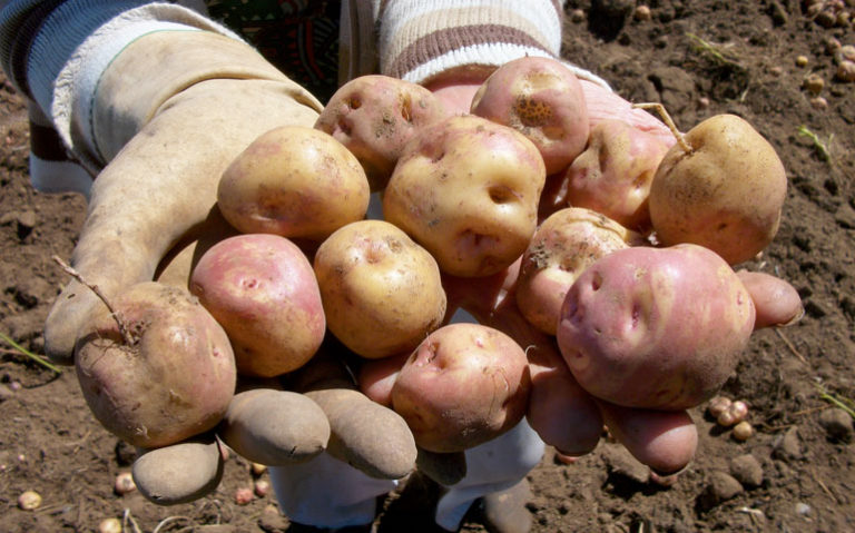 Detenido por robar 750 kilos de papas bonitas en La Orotava