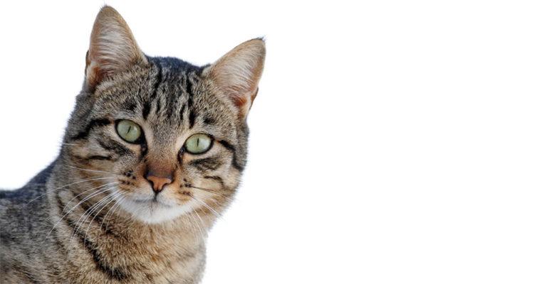 El Cabildo y los ayuntamientos buscan el control de los gatos abandonados