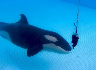 Loro Parque contribuye a la investigación sobre la ecolocalización de las orcas