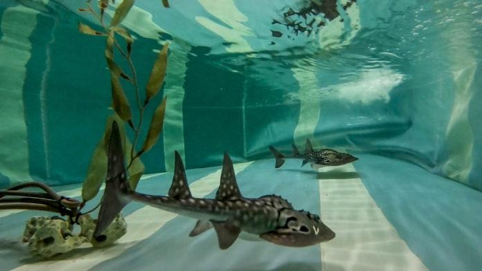 Loro Parque exhibe tiburones Rhina ancylostoma (3)