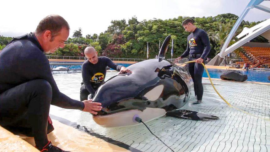 Prueba de audición a la orca Morgan