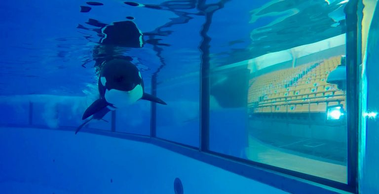 Se aplica en Loro Parque un nuevo método para estudiar cómo oyen las ballenas