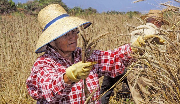Siega Tradicional del cereal en Icod el Alto