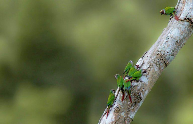Loro Parque salva una nueva especie de loro en peligro de extinción