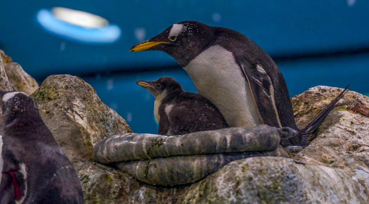 Crias de Pingüino en el Loro Parque