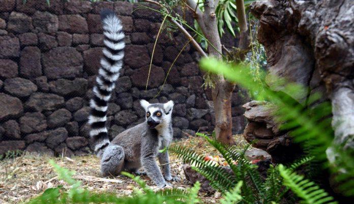 Cría de lémur de cola anillada en Loro Parque
