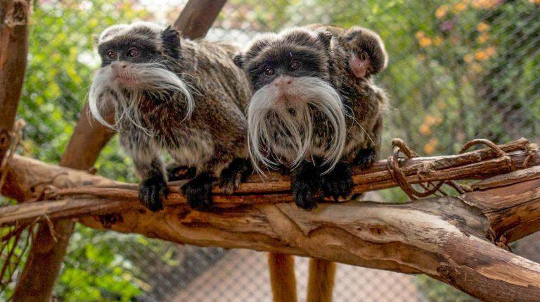 Dos mellizos de tití emperador nacen en Loro Parque