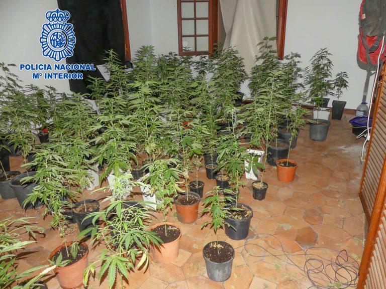 Detienen en el Puerto de la Cruz a dos okupas por el cultivo de 200 plantas de marihuana