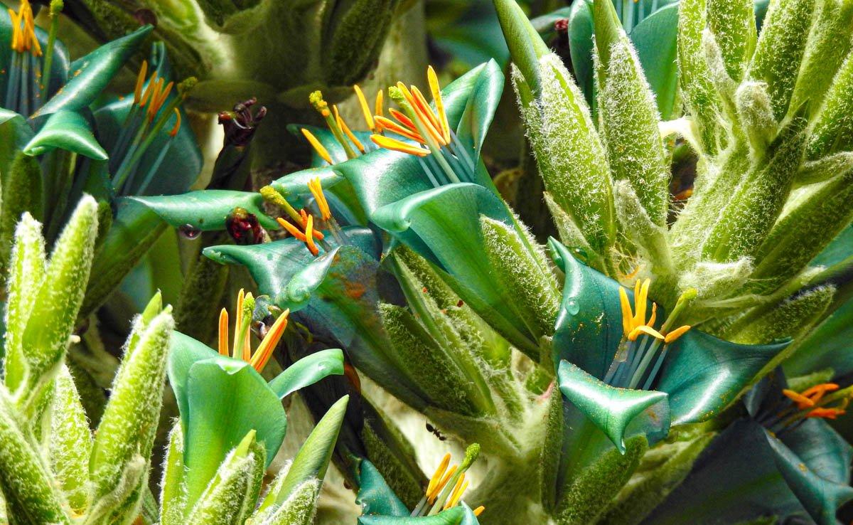 puya chilena en el Jardín Botánico